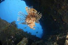En lionfish i en skeppsbrott i Röda havet, Egypten royaltyfri fotografi