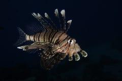En lionfish i Röda havet, Egypten royaltyfri bild