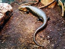 En liten Amazonian krokodil i terrariumen royaltyfri fotografi