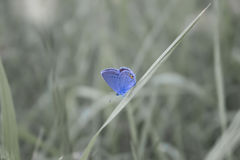 En liten blå fjäril i gräset Royaltyfria Foton
