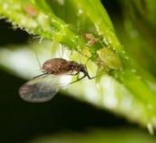 En liten bladlus på en grön växt Royaltyfri Bild