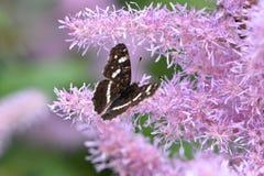 En liten brun fjäril med stängda vingar arkivbilder