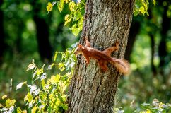 En liten ekorre stod på trädet som klamra sig fast intill stammen av trädet Arkivbilder