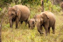 En liten elefantkalv döljer bak dess moder i den Yala nationen Royaltyfri Fotografi