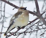 En liten fågel, en bohemisk Waxwing, sätta sig bland filialerna av ett kargt träd på en snöig dag Arkivbilder