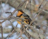 En liten fågel, en omväxlande trast, sätta sig bland filialerna av en ek Royaltyfri Foto