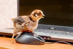 En liten fågelunge klickar på en datormusknapp Arbete i av fotografering för bildbyråer