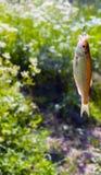 En liten fisk som fångas på en krok, på en bakgrund av grönt gräs Arkivfoton