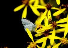 En liten fjäril namngav Järnek blått på den gula blomman fotografering för bildbyråer