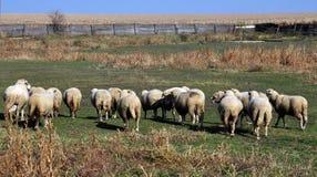 En liten flock av får arkivfoton