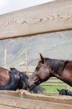 En liten flock av hästar i fålla Arkivbild