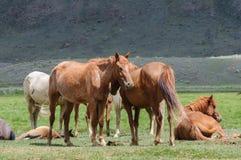 En liten flock av hästar i fålla Royaltyfri Bild