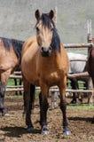 En liten flock av hästar i fålla Fotografering för Bildbyråer