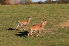 En liten flock av lantgårdhjortar kör längs en grön äng med frodigt gräs Jaga för skoglek Skydd av naturen och arkivfoton