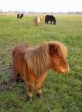 Den Shetland ponnyn sätter in (Equusferuscaballusen) royaltyfri fotografi