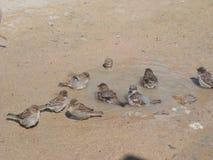 En liten flock av sparvar badar i en pöl royaltyfri foto