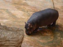 En liten flodhäst Arkivfoton