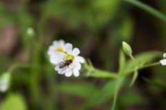 En liten fluga sitter på en vit blomma av Stellaria arkivfoton