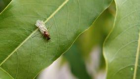 En liten flygamyra som sitter på ett blad av indiska skogar fotografering för bildbyråer