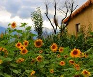 En liten gård som är full av solrosor Arkivfoto