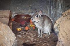En liten gnagare i zoo Royaltyfria Bilder