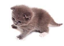 En liten grå kattunge royaltyfria foton