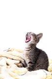 En liten grå kattunge som gäspar på en mjuk gul filt Royaltyfri Foto