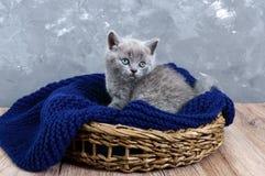 En liten grå skotsk rak kattunge i en korg Lycklig kattunge som nära ser Arkivbilder