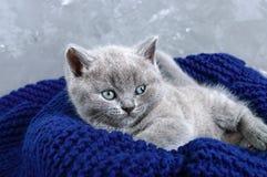En liten grå skotsk rak kattunge i en korg Lycklig kattunge som nära ser Arkivbild