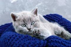 En liten grå skotsk rak kattunge i en korg Lycklig kattunge som nära ser Royaltyfri Fotografi