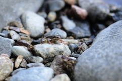 En liten groda bland stenarna Arkivbilder