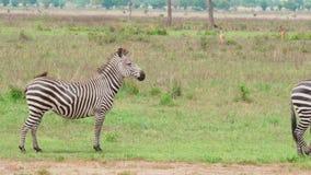 En liten grupp av sebror meddelar i savannet stock video