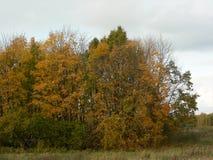 En liten grupp av träd vände gult - den sena hösten Fotografering för Bildbyråer