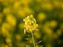 En liten gul blomma Royaltyfri Bild