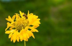 En liten gul blomma med ett honungbi arkivfoton