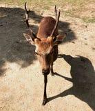 En liten hjort som går i röjningen arkivfoto