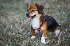 En liten hund går i röjningen Royaltyfri Bild