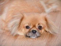En liten hund ligger på golvet Arkivfoto