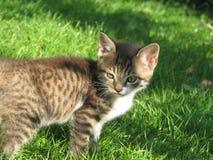 En liten katt ser någonstans på en grön gräsmatta Royaltyfri Fotografi