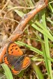 En liten kopparfjäril fotografering för bildbyråer
