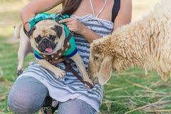 En liten mopshund som vänder mot ett får i ett fält royaltyfri foto