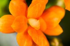 En liten orange blomma som en bakgrund Royaltyfri Fotografi