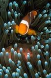 En liten orange nemofisksimning till och med dess ljus - grön anemonfisk Arkivfoton
