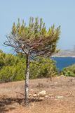 En liten Pinushalepensis, Aleppo sörjer trädet royaltyfri fotografi