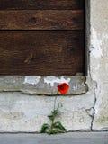 En liten röd blomma framme av en gammal trädörr Royaltyfri Foto