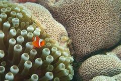En liten röd clownfisk på en hård korall Royaltyfria Foton