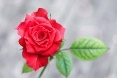 En liten röd ros arkivfoto