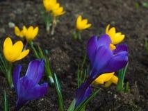 En liten röjning som blomstrade på färgrika vårkrokusar Royaltyfri Foto