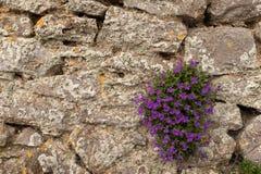 En liten rugge av h?rliga pupleblommor blommar p? en smula stenv?gg royaltyfri bild