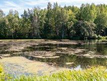En liten sjö som täckas med gyttja med en björkskog på kusten arkivfoton